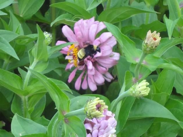 bumblebee_homestead