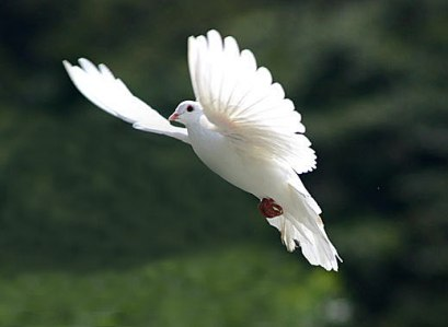dove_flying